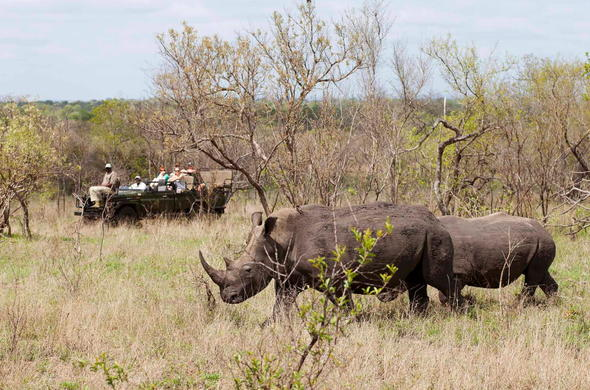 Game drives to see the endangered rhino in Sabi Sands Private Game Reserve.